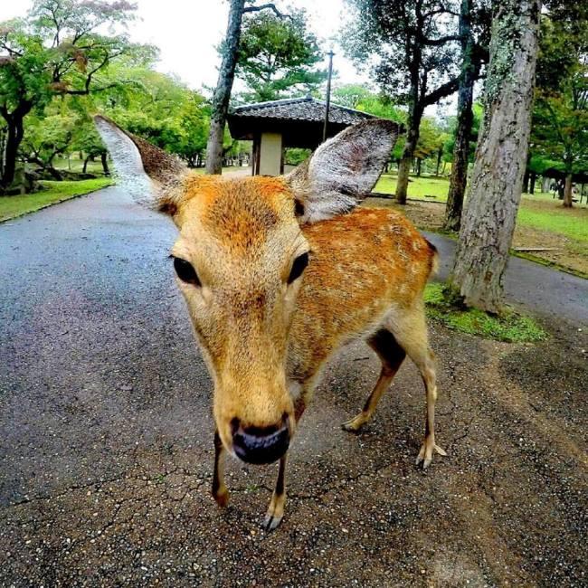 Nara cervi Giappone