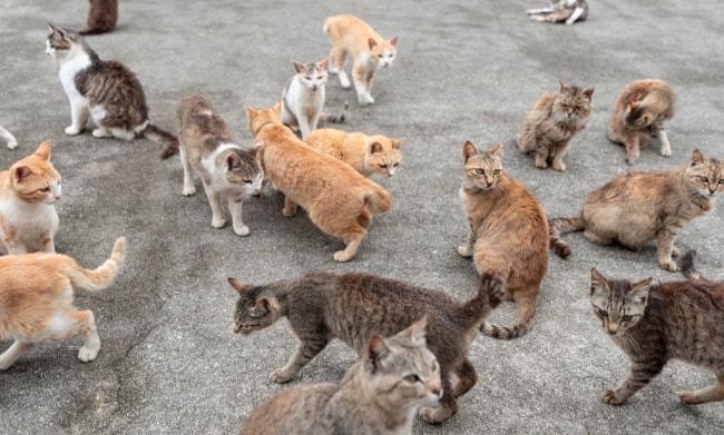 isola dei gatti Ainoshima Giappone