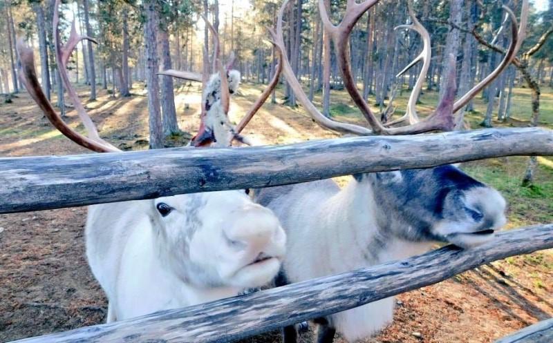 fattoria delle renne Inari Finlandia